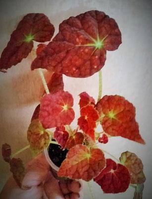 Бегония Autumn Ember (L.Martin and B.Martin)