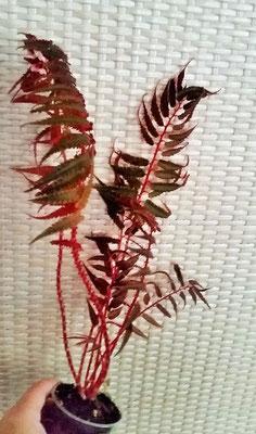 Бегония pteridiformis red form