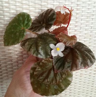 Бегония Begonia koksunii