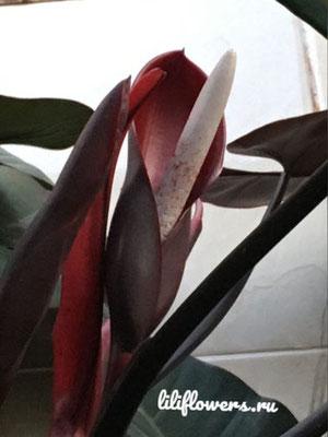 Philodendron erubescens 'Red Emerald'