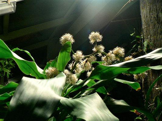 Dracaena fragrans (Драцена душистая)