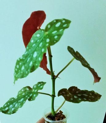 Бегония maculata var. wightii