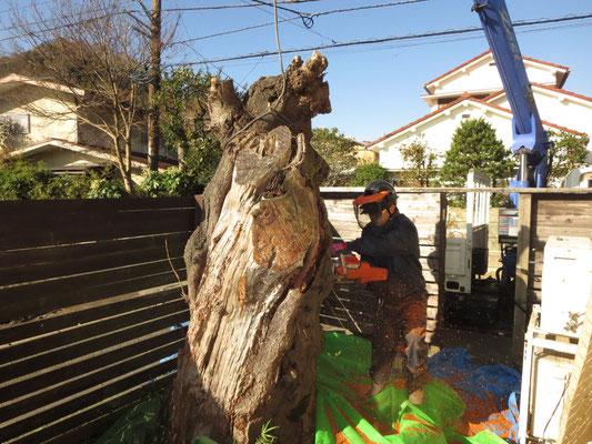 桜の伐採工事