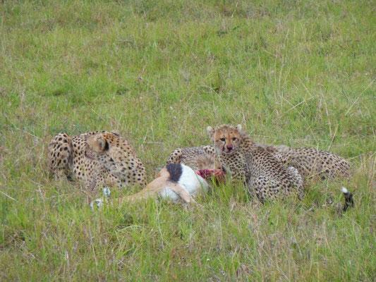 ghepardi a caccia masai mara