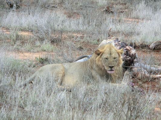 Safari Tsavo Est leone con la preda