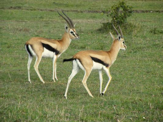 gazzelle masai mara in2kenya