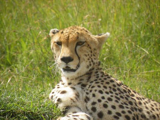 ghepardo masai mara - in2kenya