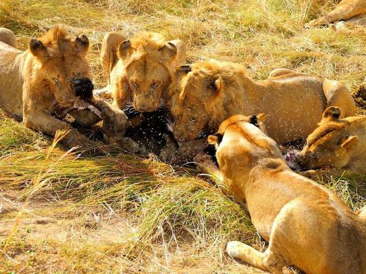 lion a caccia masai mara - in2kenya