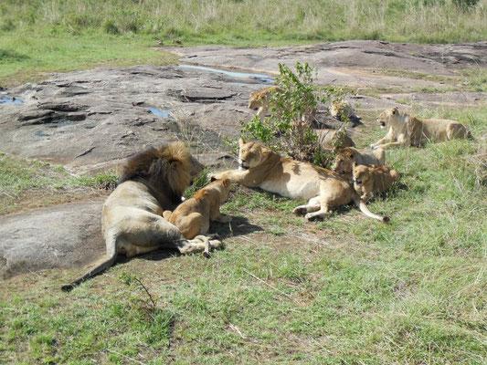 lioni con cuccioli masai mara