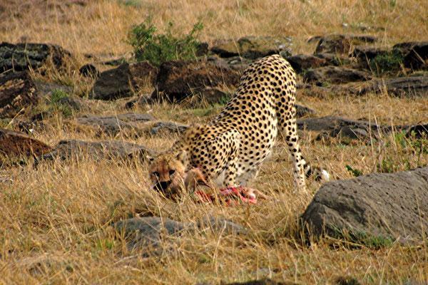 ghepardo a caccia tsavo est in2kenya
