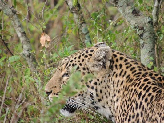 leopardo masai mara - in2kenya