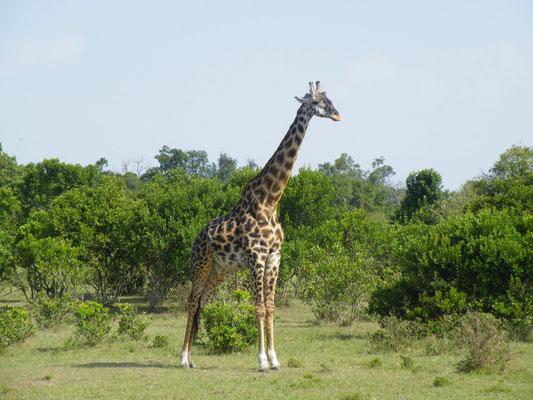 giraffa masai mara - in2kenya