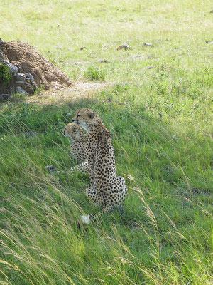 ghepardi masai mara - in2kenya