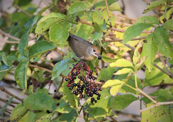 Mönchsgrasmücke W.   Foto Gerald Puchberger