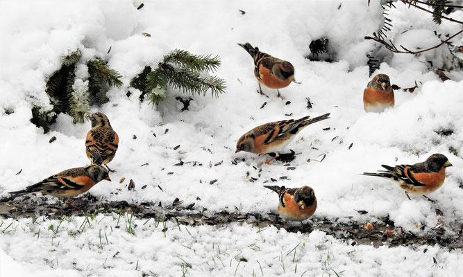 Bergfinken  Foto Gerald Puchberger