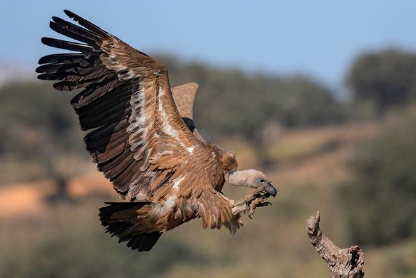 turismo activo ecoturismo altiplano granada observación aves buitre leonado