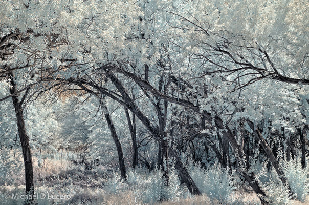 Leaning trees. Infrared capture. Jordan River Trail, Utah