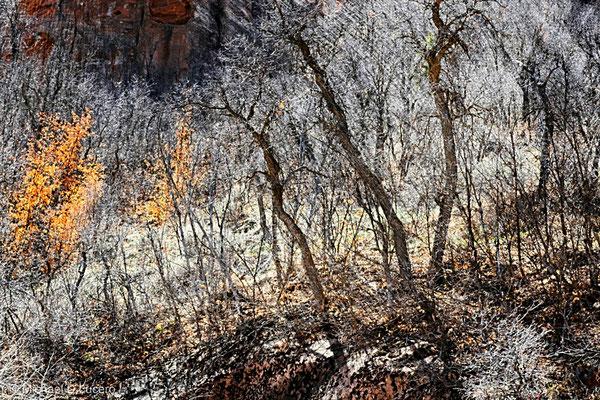 Tree Study near Diamond Campground, Utah