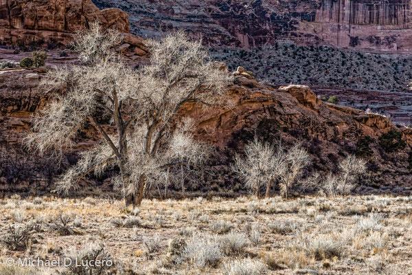 Winter Trees, San Rafael Swell, Utah