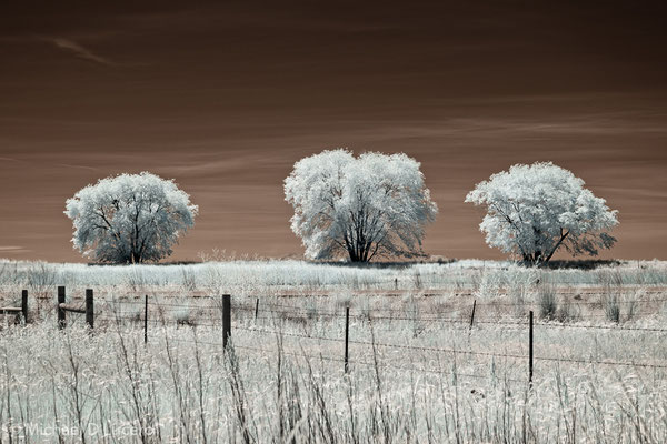 """3 Trees"". Bear River Migratory Bird Refuge, Utah. Photographed using an infrared converted camera"