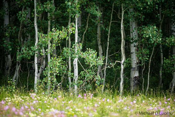 Summer Aspen, Wasatch High Country, Utah