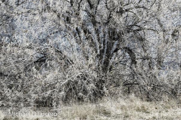 Sagging tree. Infrared capture. Jordan River Trail, Utah