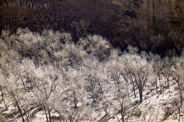 Winter trees in morning light. Grand Staircase Escalante NM, Utah