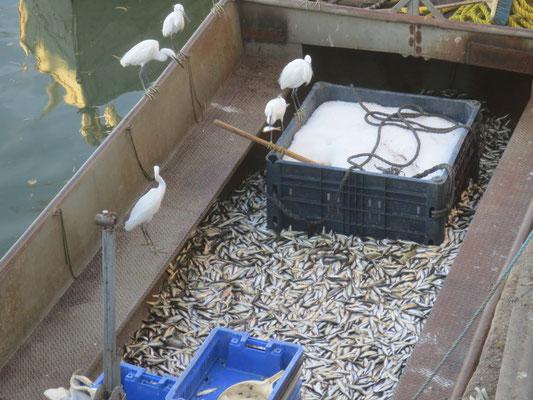 Egrets feasting