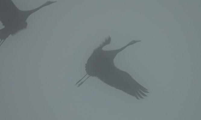 Kraniche im Nebel bei Linum, Ostprignitz-Ruppin