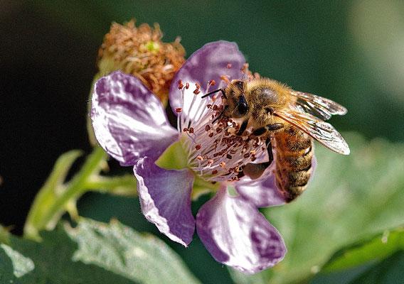Biene auf Brombeerblüte bei Ruhlsdorf, Potsdam-Mittelmark
