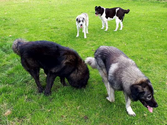 Herdenschutzhunde unter sich.