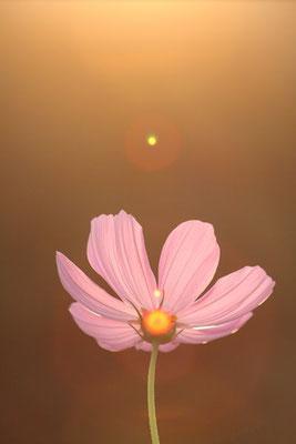 写真素材: 妖精の時間‥と‥空間。 コスモス (センセーション) その3. cosmos flower