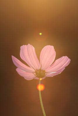 写真素材: 妖精の時間‥と‥空間。 コスモス (センセーション) その2. cosmos flower
