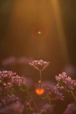 写真素材: 妖精の時間‥と‥空間。 コバノランタナ その3。 Trailing lantana