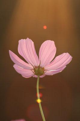写真素材: 妖精の時間‥と‥空間。 コスモス (センセーション) その1. cosmos flower