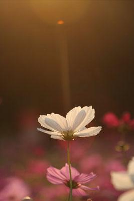 写真素材: 妖精の時間‥と‥空間。 コスモス (センセーション) その5. cosmos flower