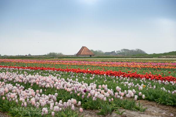 Bollenveld Den Hoorn