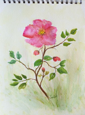 Rose sauvage, aquarelle