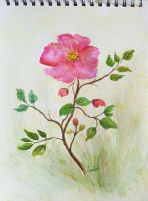 Rose sauvage, aquarelle