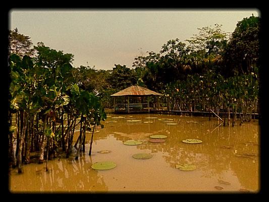 Die Amazonas-Riesenseerose (Victoria Regia) hat einen Durchmesser von bis zu drei Metern und kann bis zu 40 kg Gewicht tragen und wird deshalb auch als Kaiman-Bett bezeichnet