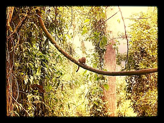 Unter mehr als 200 Affen auf der Insel, findet man unter den sechs verschiedenen Affenarten die es hier gibt auch das Zwergseidenäffchen, den kleinsten Affen der Welt