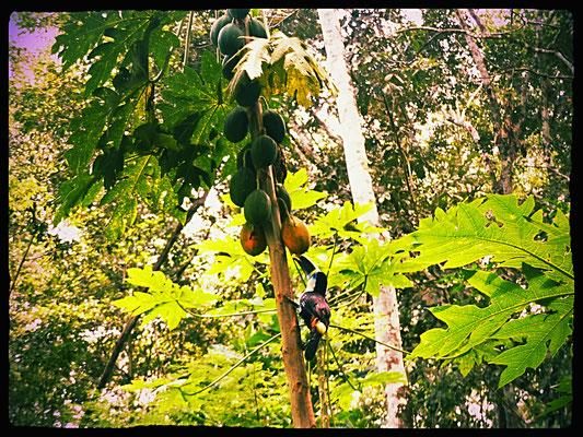 Auch Tucane fühlen sich auf der Affeninsel in Sicherheit, da sie hier Nahrung finden und bis ihre Flügel nachgewachsen sind, nicht angegriffen werden