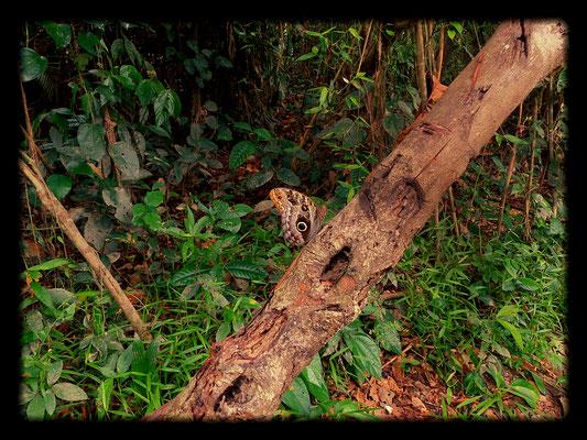 Der Eulenfalter vermittelt uns im Dschungel das Gefühl stets beobachtet zu werden
