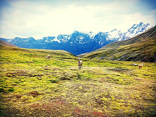Und natürlich dürfen in diesen Höhen die Alpacas nicht fehlen