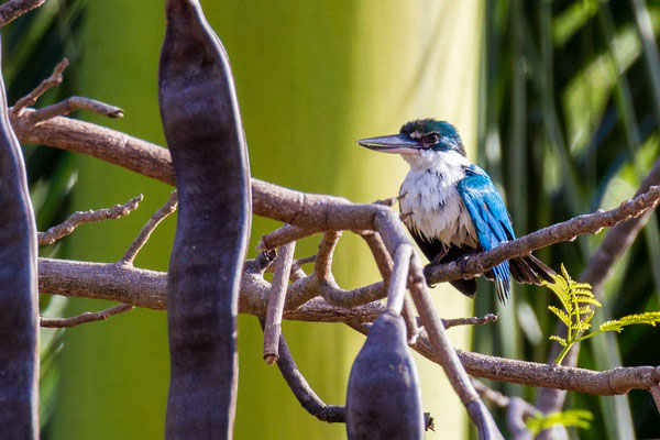 White collared kingfisher photo