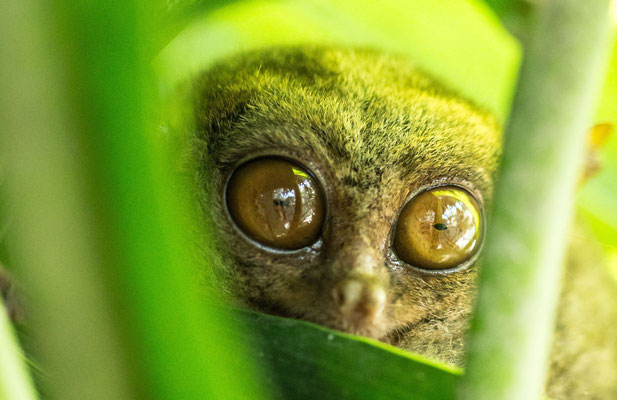 Wildlife photography: this animal is a Tarsier