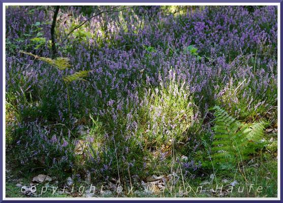 """Die Besenheide (Calluna vulgaris) ist auch unter dem Namen """"Heidekraut"""" bekannt, 26.08.2019, Darß/Mecklenburg-Vorpommern."""