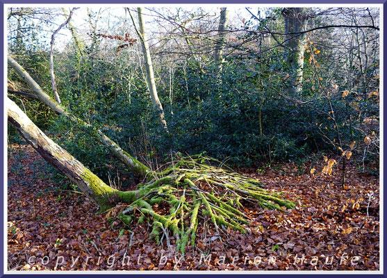 Europäische Stechpalme (Ilex aquifolium) als Unterholz im Ahrenshooper Holz, Januar.