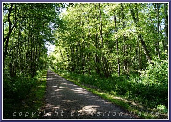 Erlenbrüche säumen vielfach die Wege im Darßwald, zum Beispiel am g-Gestell, Juni 2020, Darßwald/Mecklenburg-Vorpommern.