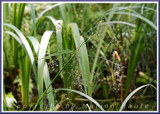 Wald-Simse (Scirpus sylvaticus), Juli 2020, Darß/Mecklenburg-Vorpommern.